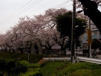 新棟前の桜