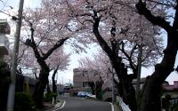 ドンドン坂の桜並木