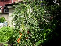 3メートルになるミニトマト