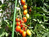 下の熟れたトマト