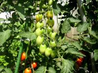 中段のトマト