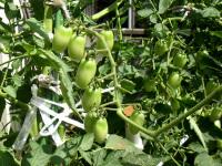上段のトマト