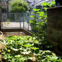 カボチャの栽培