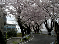 どんどん坂の桜