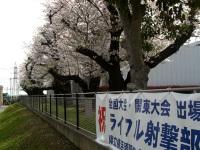 正門の南側の桜