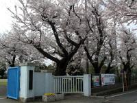 正門の北側の桜
