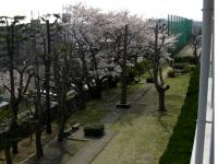 校舎の南側の桜並木