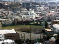 Y校グランドと大岡川の桜並木