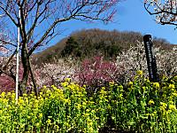 菜の花と梅、背後に幕山