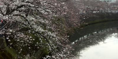 大岡川の桜並木