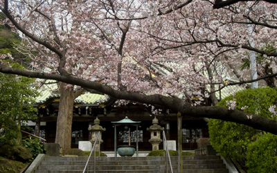 常照寺の桜